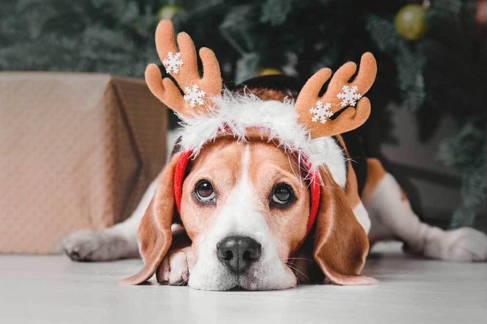 Beagle wearing antlers laying in front of Christmas tree