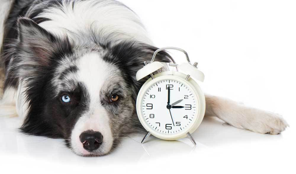 Black and white shaggy dog with a white alarm clock on a white background