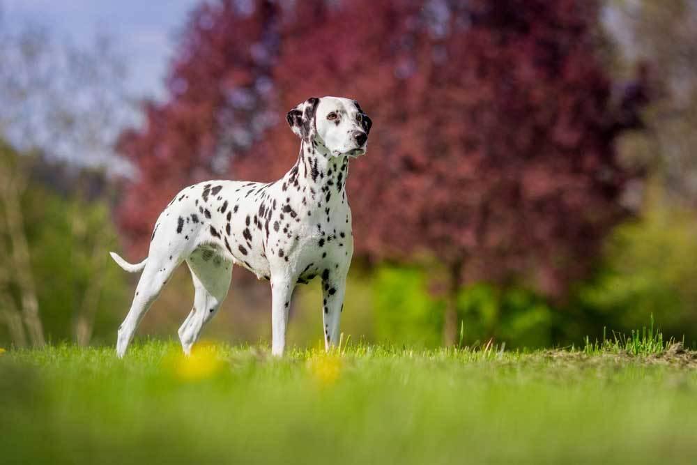 Dalmatian standing in grassy field