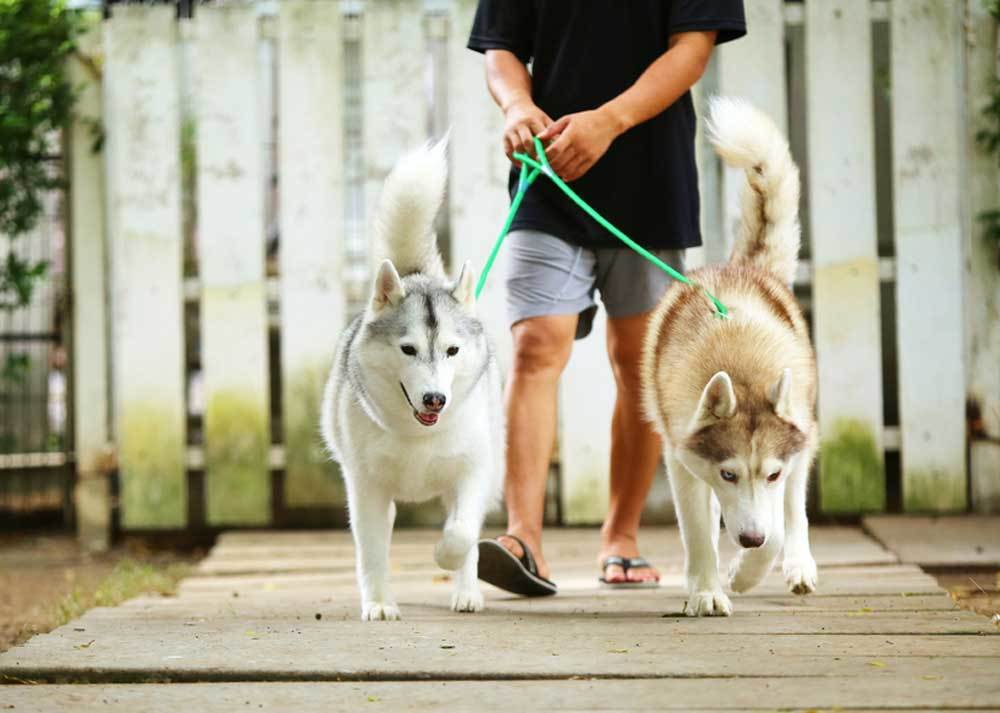 two Siberian Huskies on leashes being walked on wooden boardwalk