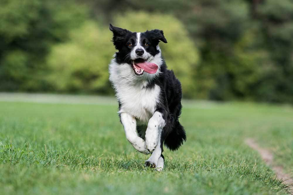 Border Collie running and jumping with tongue out