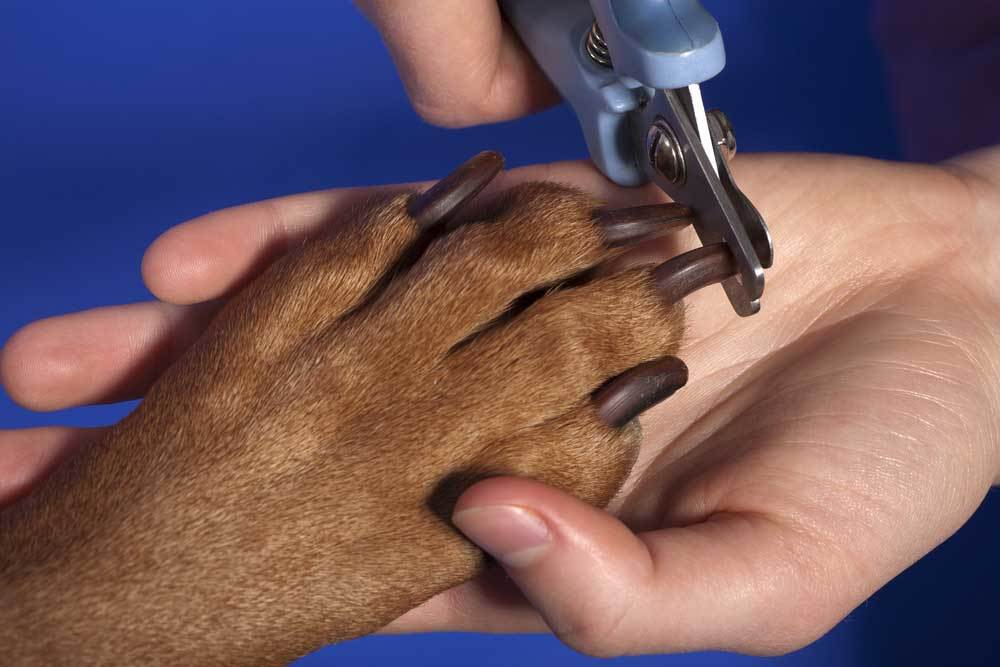 Dog paw in persons hand getting nails clipped on blue background