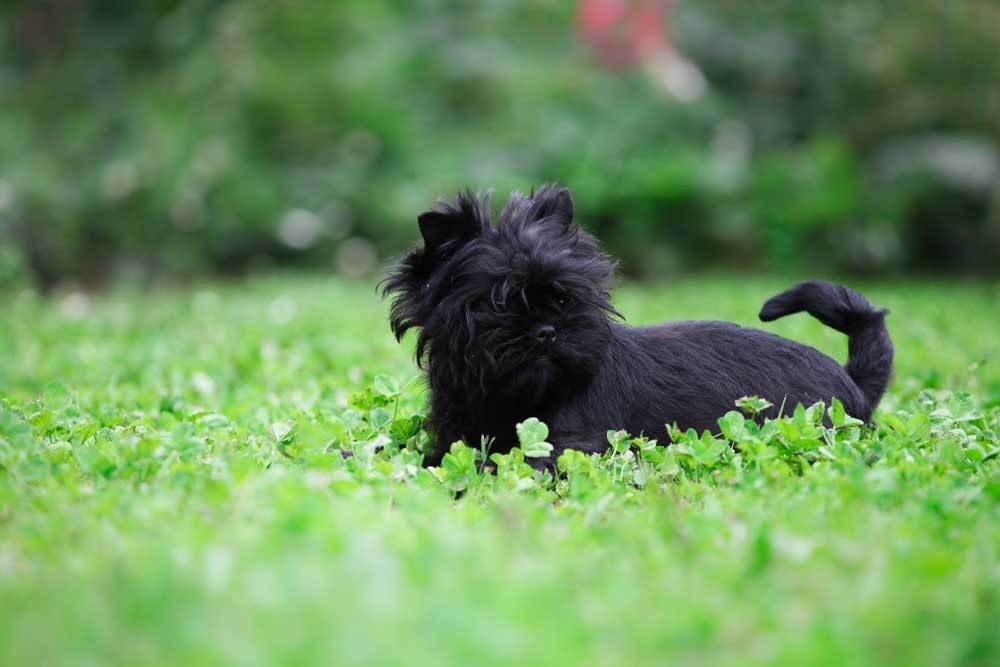 Affenpinscher laying in bed of clovers