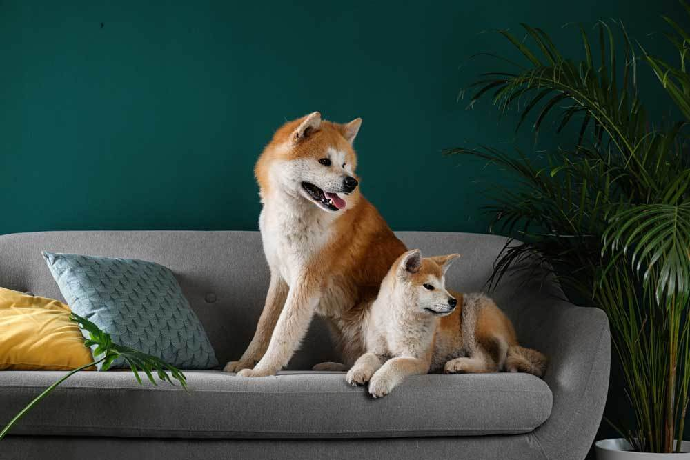 Adult Akita and puppy resting on couch in living room setting