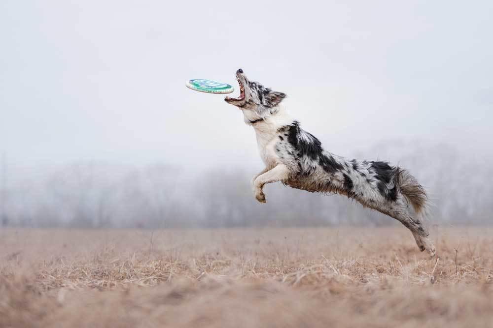 Australian Shepherd in field jumping to catch Frisbee