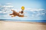 Australian shepherd playing frisbee