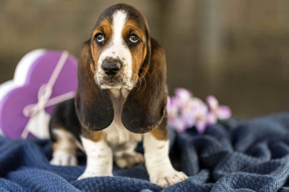 Basset Hound sitting on blanket with flowers and box of chocolates