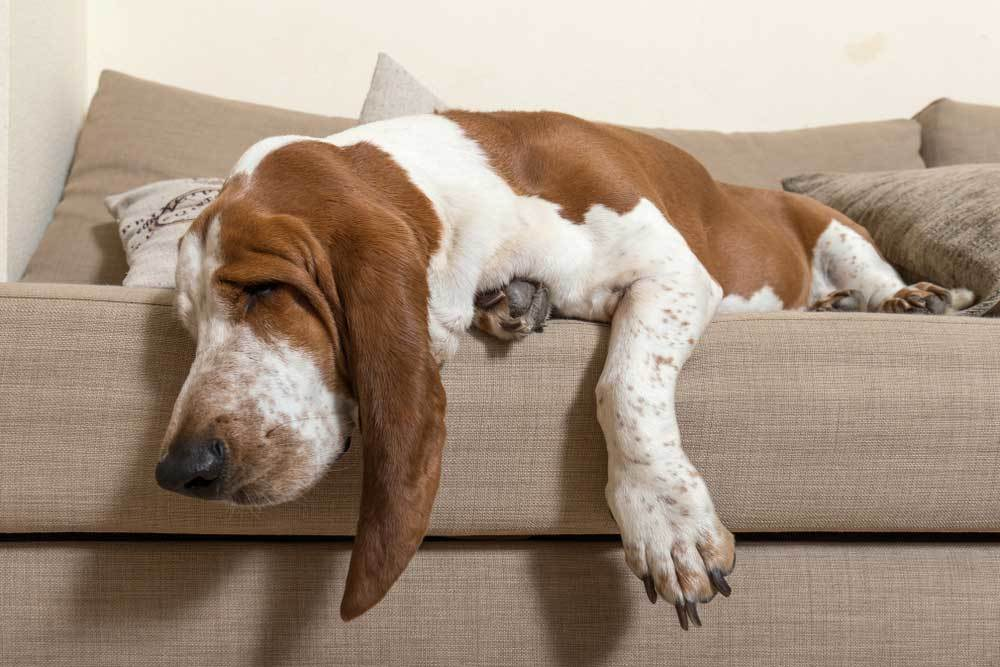 Basset Hound hanging off of the edge of a couch sleeping