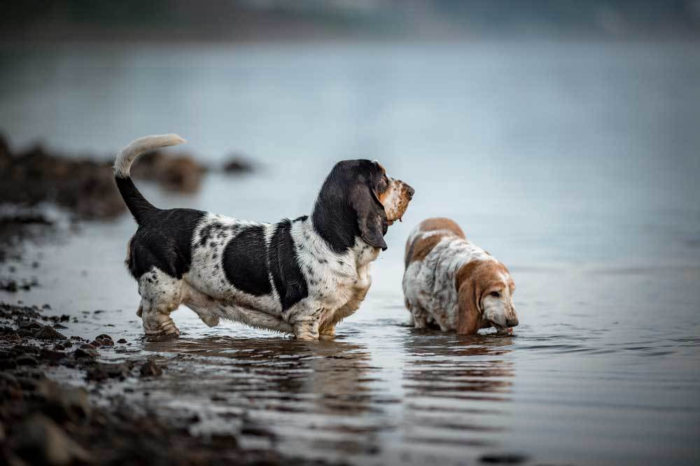 2 Basset Hounds playing in a river