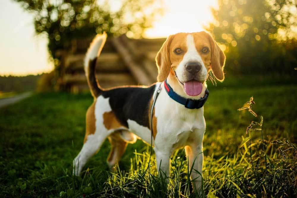 Beagle standing in grass field with trees  and sunlight in background