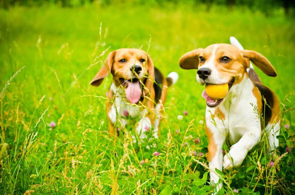 2 Beagles running in grassy field