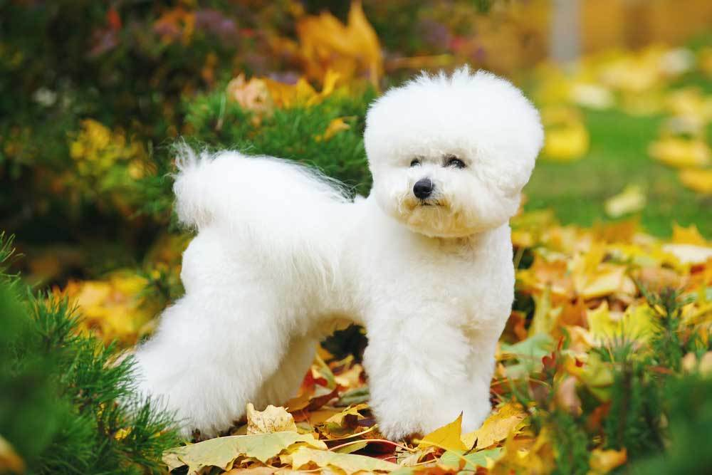 Bichon Frise standing in fall leaf covered grass