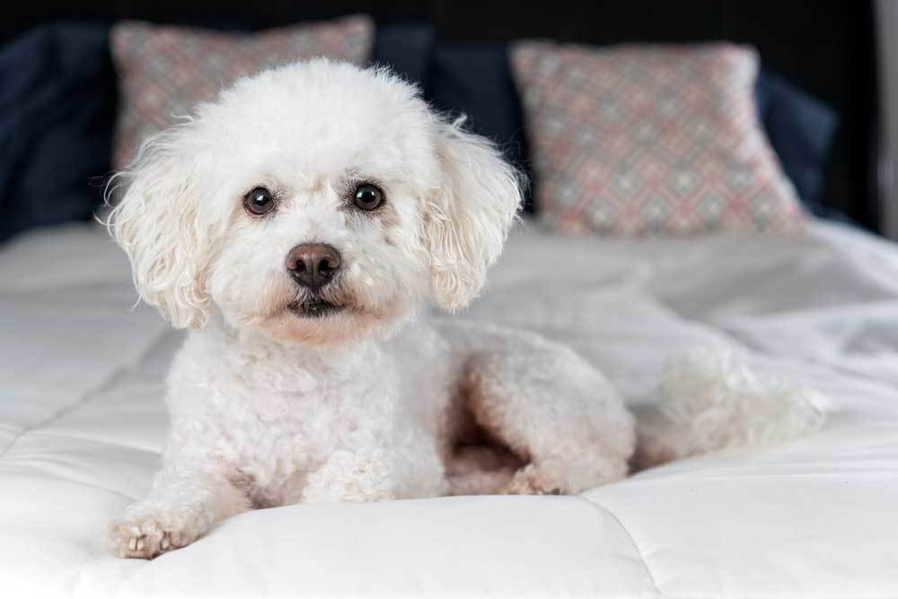Bichon Frise laying on bed