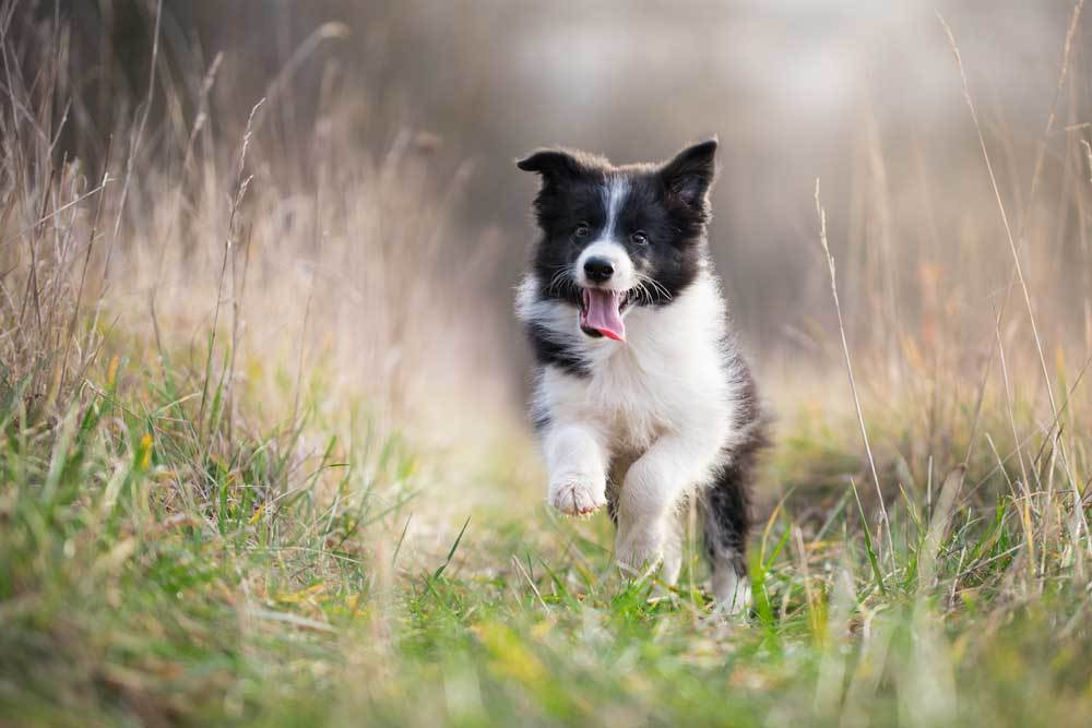 Border Collie puppy running through tall grass