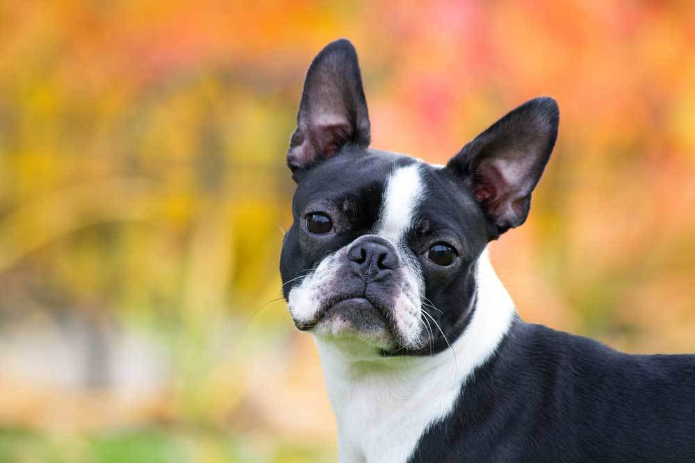 Boston Terrier on autumn colored background