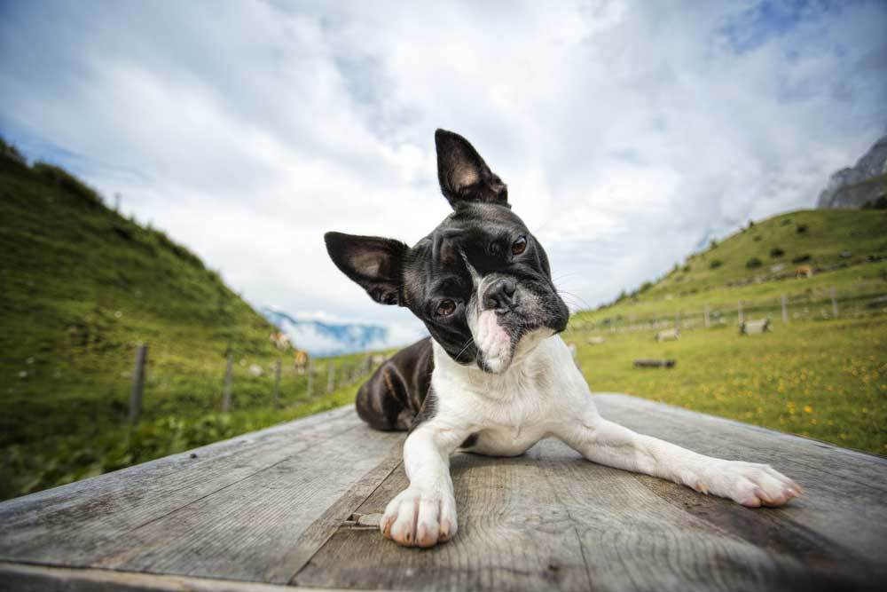 Boston Terrier laying on picnic table with grassy hills in background