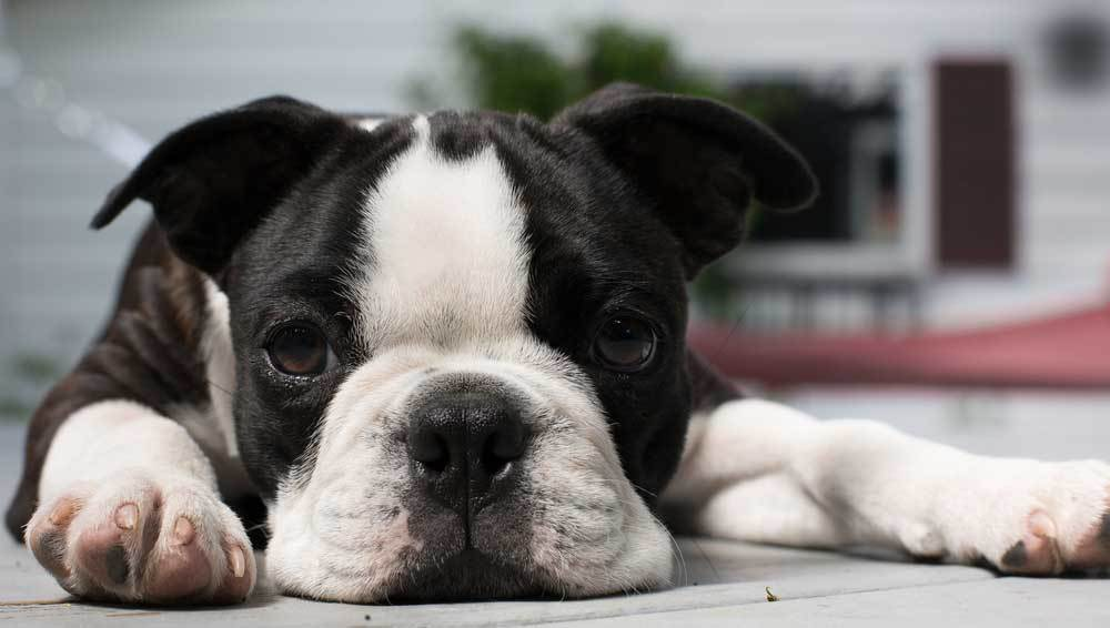 Boston Terrier resting on floor with head between its paws