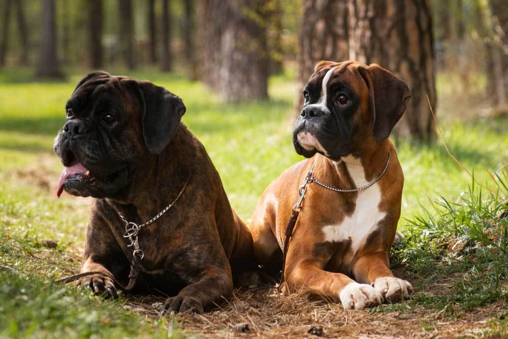 2 boxer dogs laying side by side in the grass