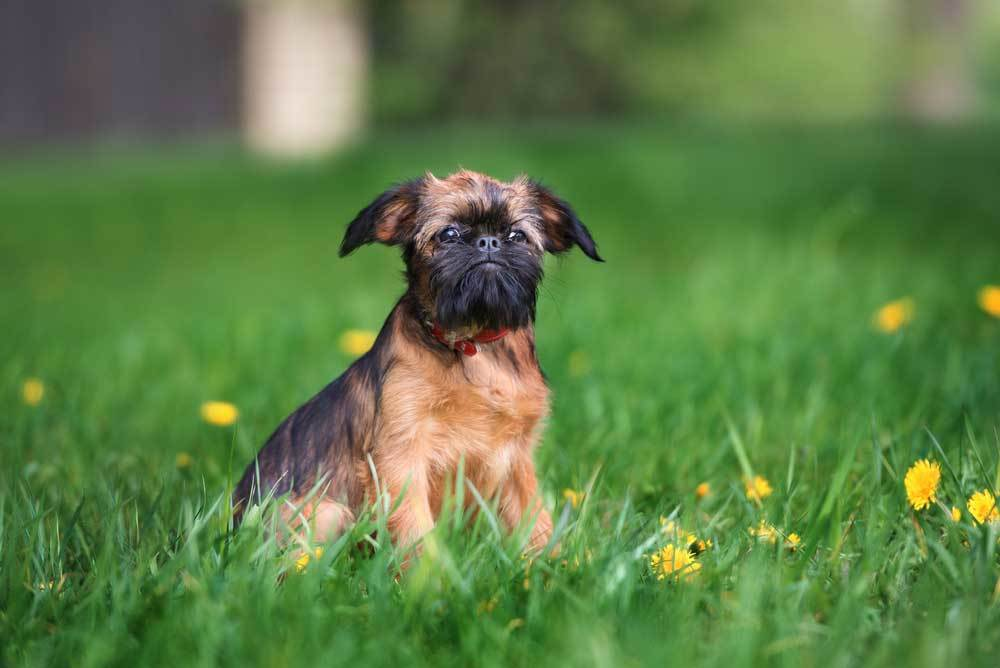 Brussels Griffon  sitting in grass with dandilions