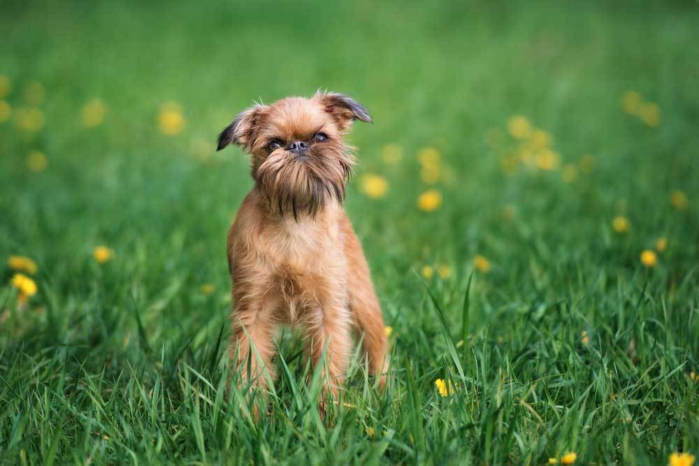 Brussels Griffon standing in grass with yellow flowers looking at carmera