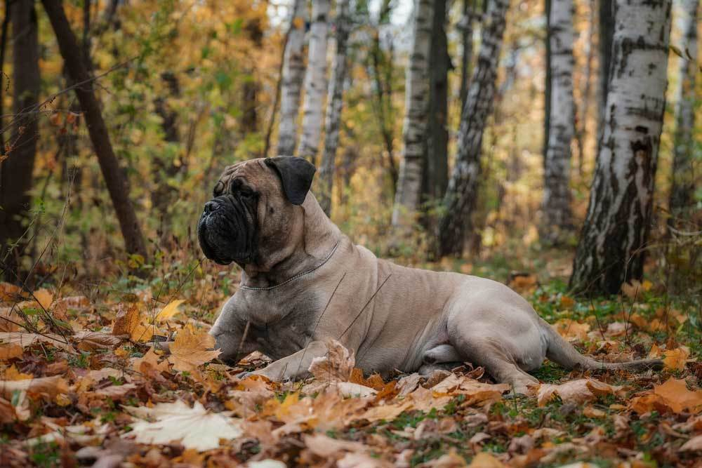 Bullmastiff laying on bed of leaves in the forest