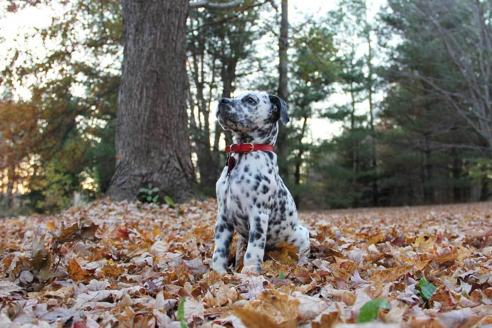 Bullmatian puppy sitting in leaf covered grass