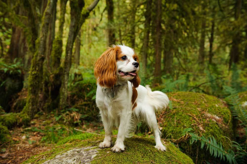 Cavalier King Charles Spaniel standing on moss covered rock in forrest