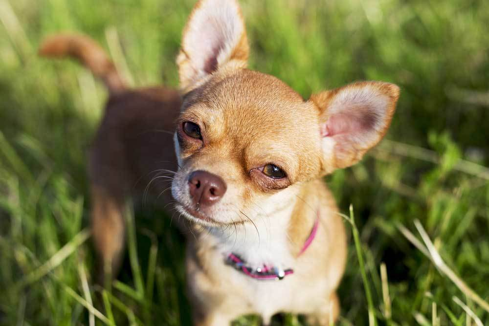 Chihuahua standing in grass with head tilted.