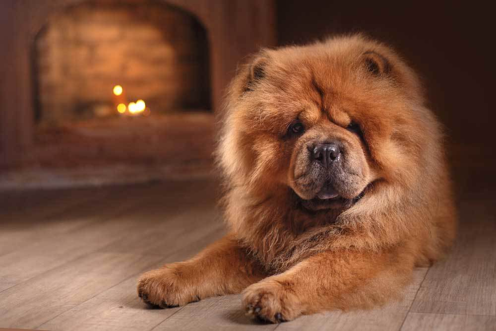 Chow Chow laying on hard wood floor in front of fireplace