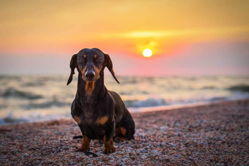 Dachshund sitting on beach with sunset in backgroun