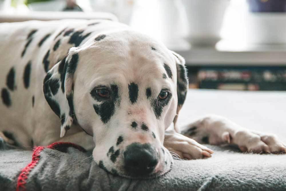 Dalmatian laying on blanket