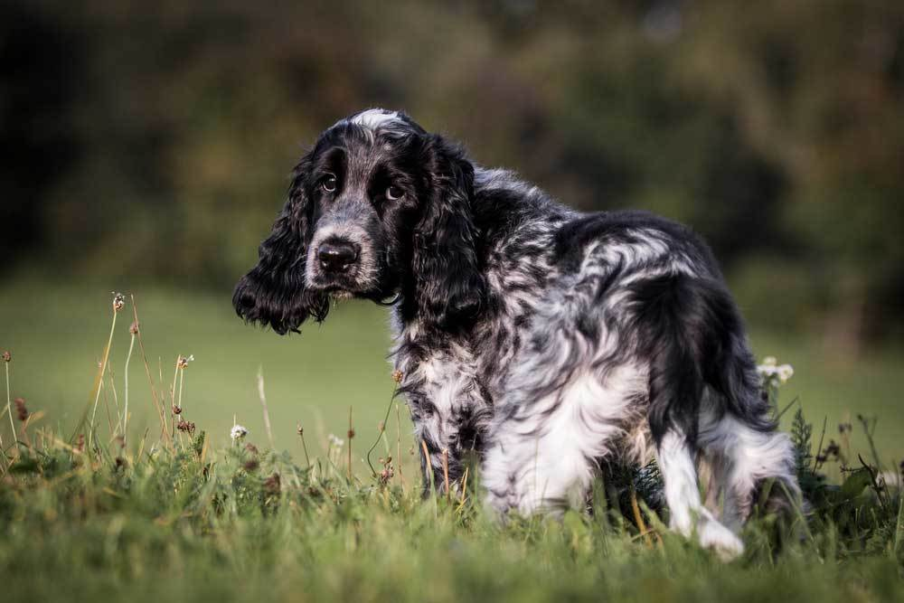 English Cocker Spaniel standing in a field of grass and weeds