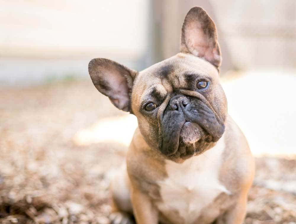 French Bulldog with head tilted sitting on leaves.