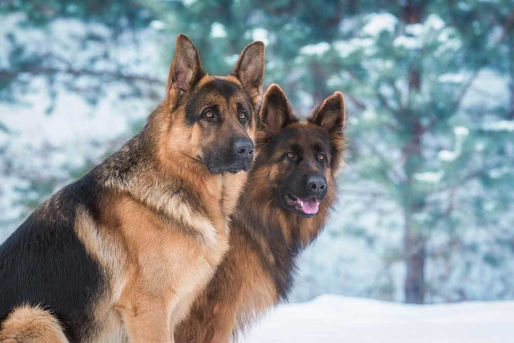 2 German Shepherds sitting in the snow with trees in background