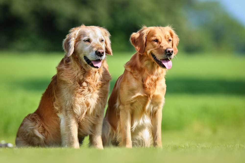 2 Golden Retrievers sitting in grassy field