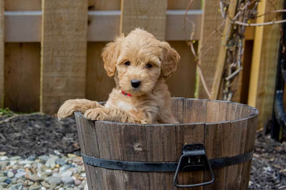 Goldendoodle puppy in a wooden barrell