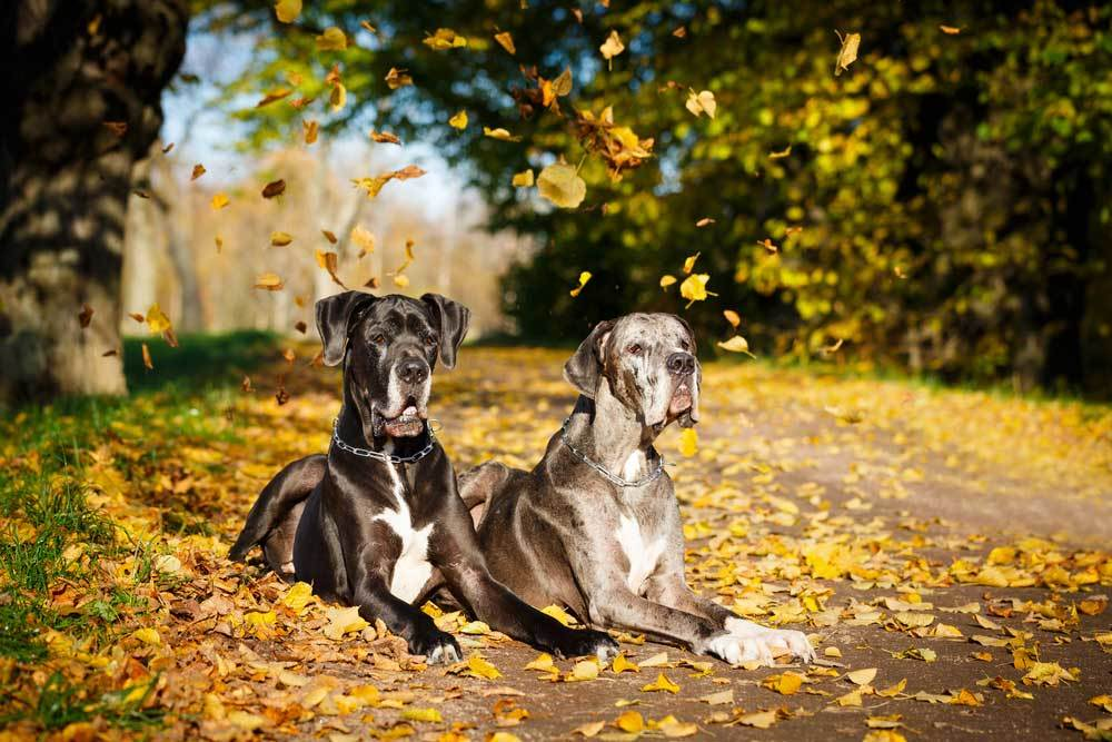 2 great danes laying on leaf covered ground under a tree