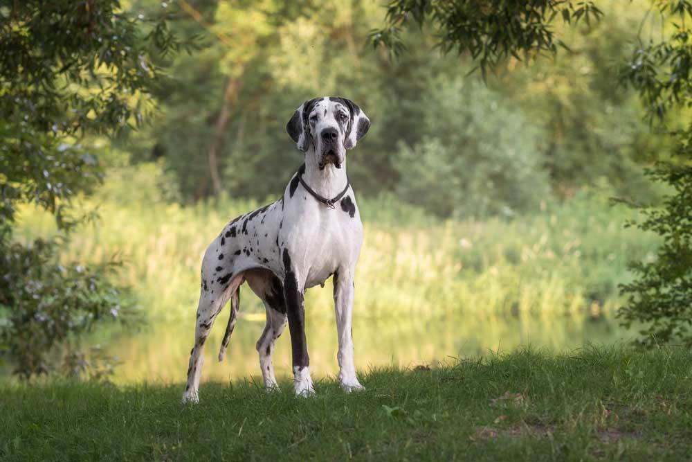 Great Dane standing next to pond