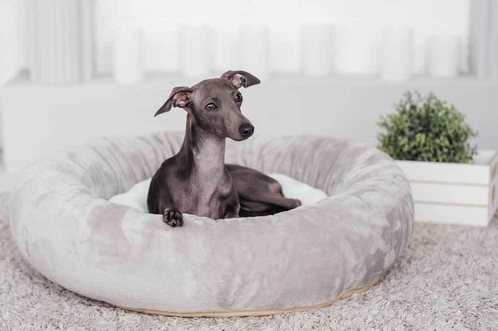 Greyhound sitting in grey dog bed