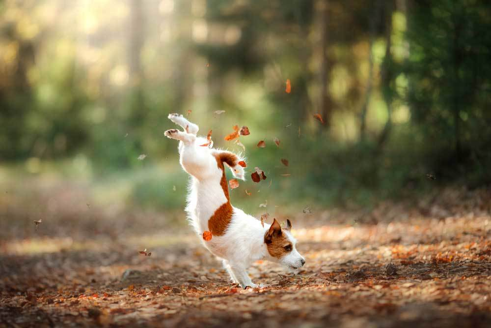 Jack Russell Terrier jumping over leaves