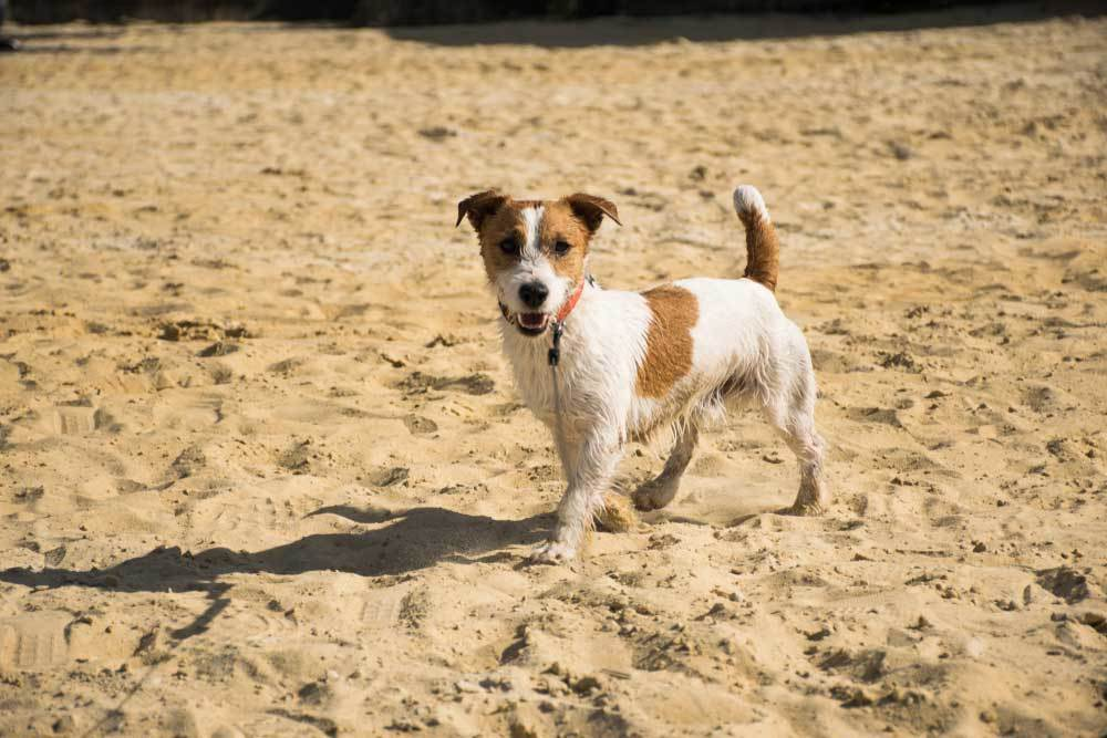 Wet Jack Russell Terrier standing in sand