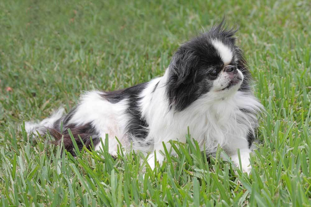 Japanese Chin resting in grass