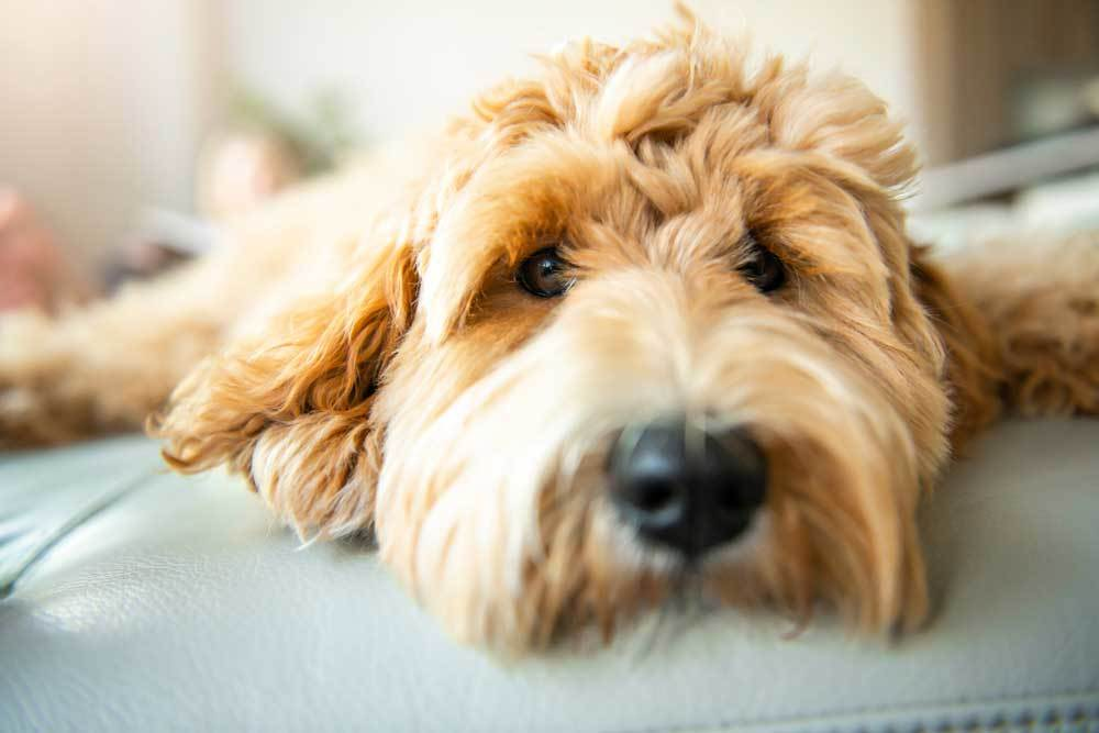 closeup of Labradoodle laying on a couch