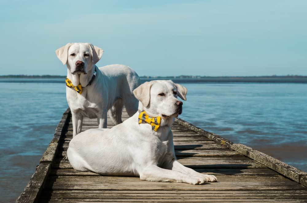 2 Labrador Retrievers on a small dock, one laying one standing.