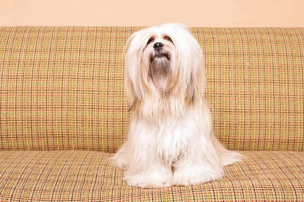 Lhasa Apso sitting on vintage couch