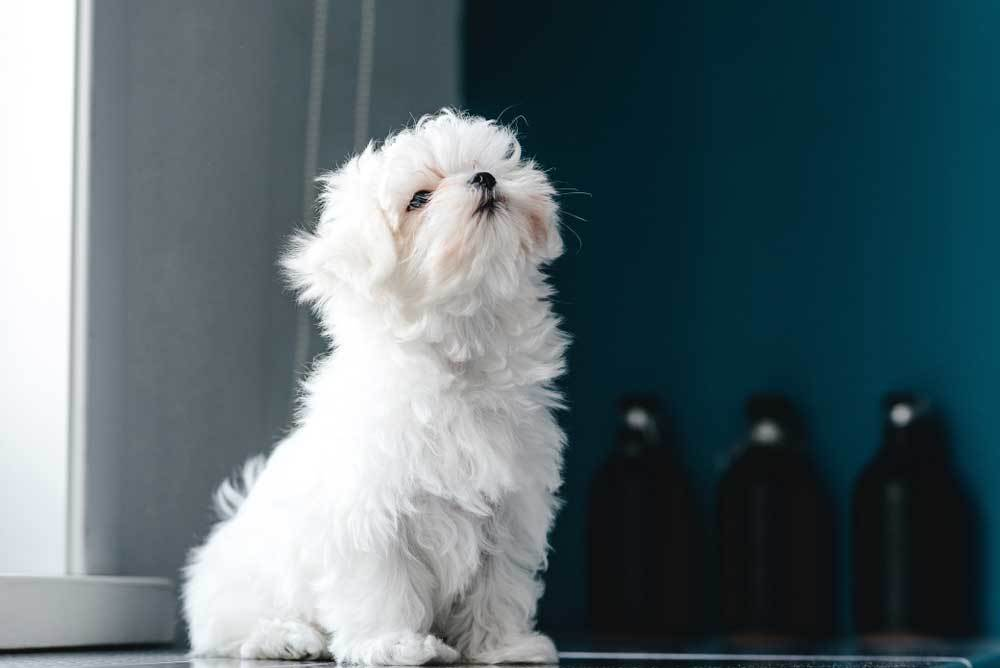 Maltese sitting on floor next to window in room with blue walls.