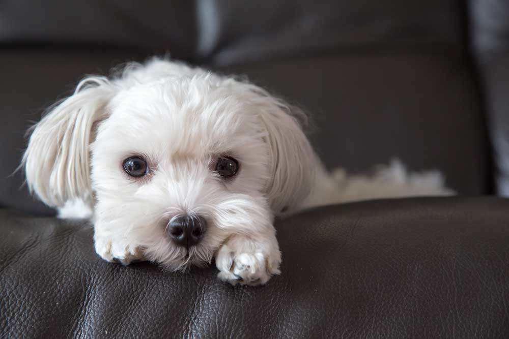 Maltese laying on brown leather couch