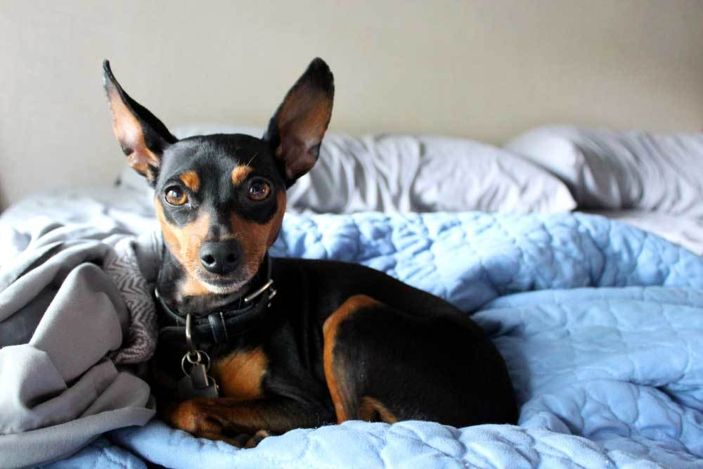 Miniature Pinscher laying on unmade bed