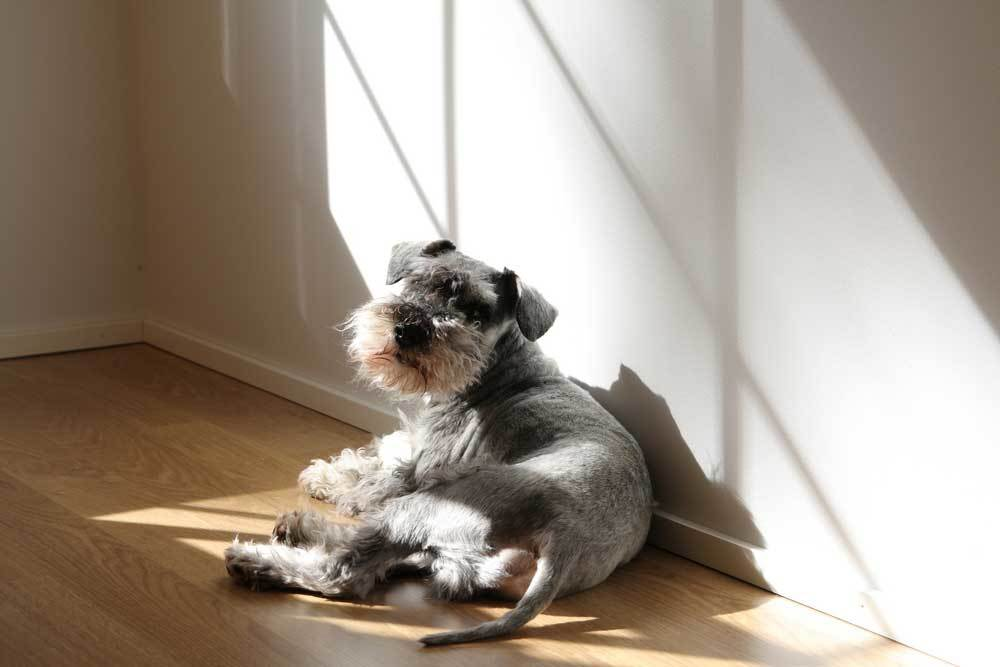 Miniature Schnauzer laying on a hardwood floor in the sunlight from a window