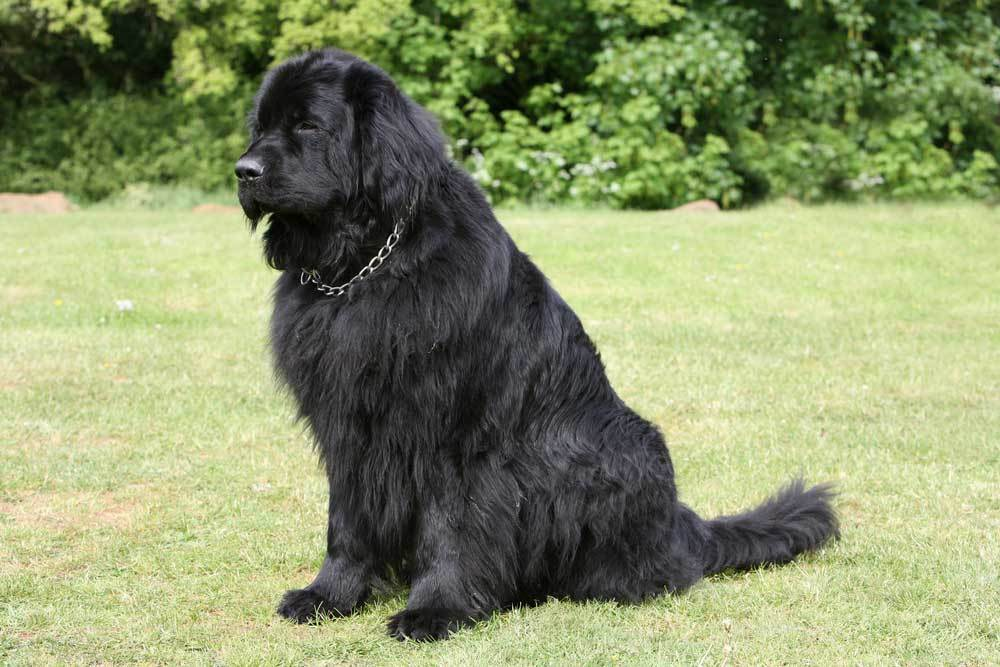 Newfoundland dog standing in grass with trees in background